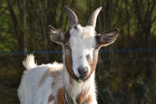 Goat, Goat Baby Goat, Kid